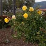 Rose garden design and installation