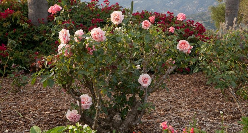 Santa Barbara Rose Garden Design