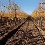 Santa Ynez vineyard Mangement