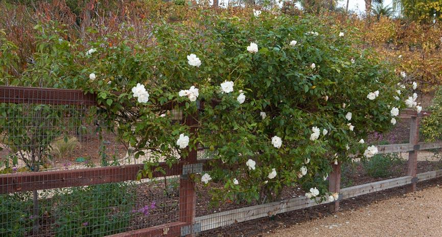 Santa Barbara Speciality Rose Garden