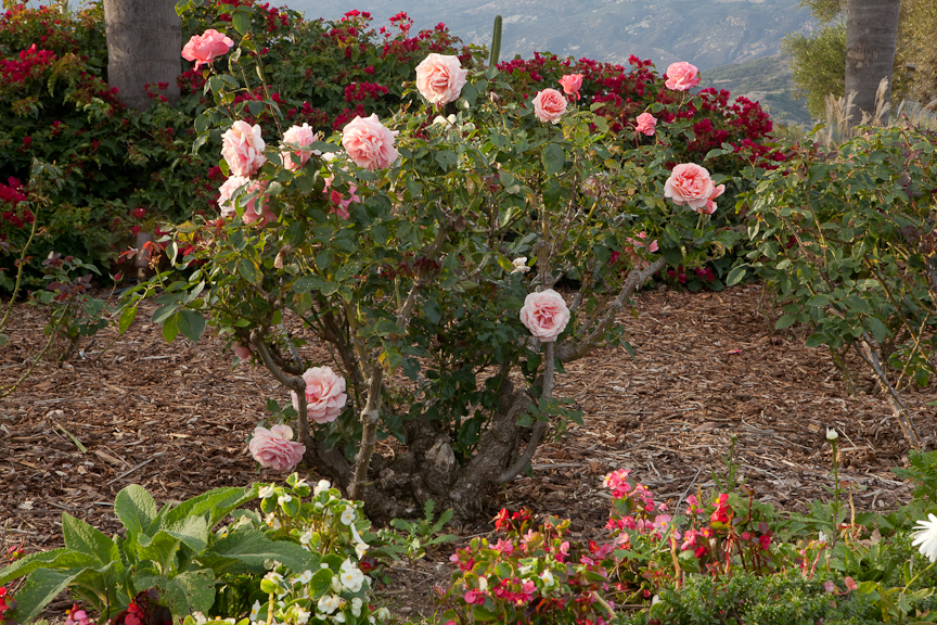 Rose garden design and installation in santa barbara for Rose garden design