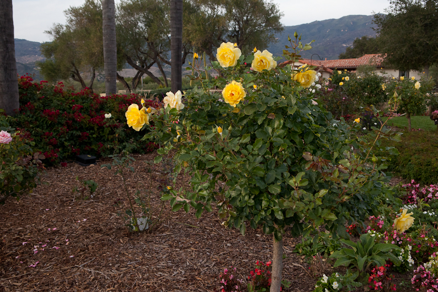 Rose Garden Design And Installation In Santa Barbara