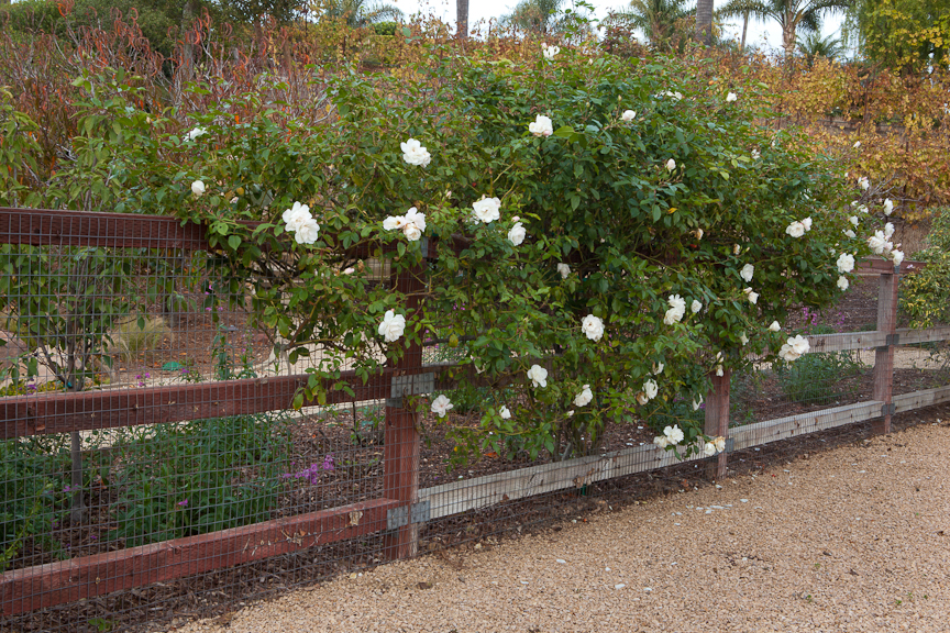 Cottage Rose Garden Design