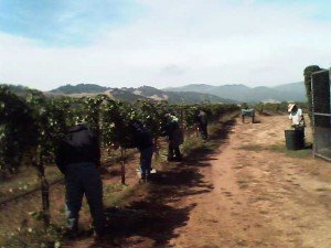 Santa Barbara Vineyard Maintenance