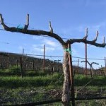 pruning grape vines in santa barbara
