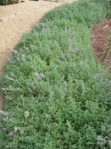 Santa Barbara Herb Garden - Thyme