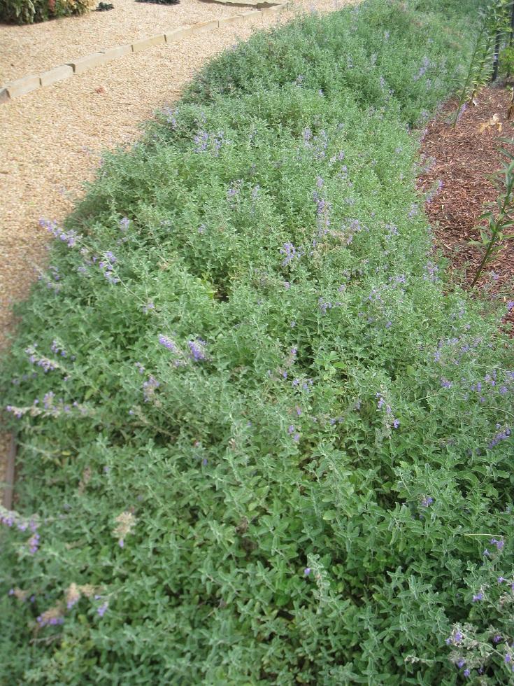 Santa Barbara Aroma Garden - Thyme